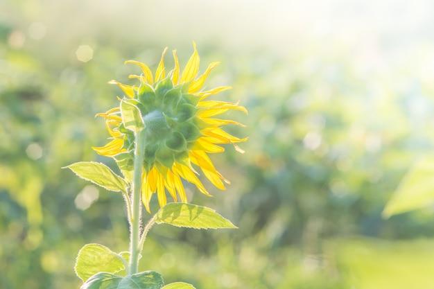 Zachte, selectieve focus van zonnebloemen, wazig bloem voor achtergrond, kleurrijke planten