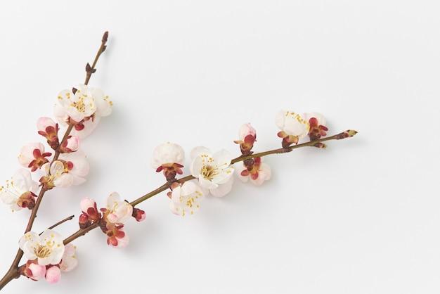 Zachtroze bloeiende abrikozentakken