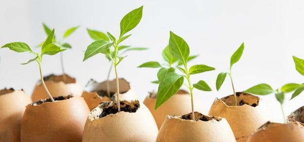 Zaden die in eierschalen op wit planten