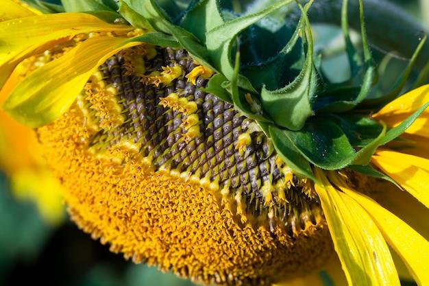 Zaden in verwelkte zonnebloem in het veld in de zomer