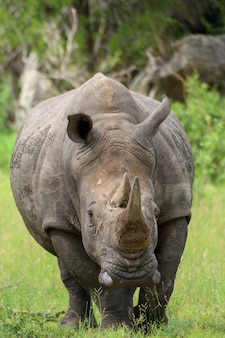 Zag deze neushoorn tijdens een bezoek aan het beroemde kruger national park in zuid-afrika.