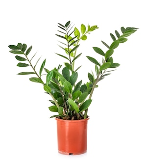 Zamioculcas in de studio