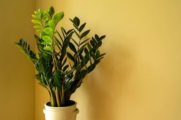 Zamioculcas zamiifolia zamioculcas bloem in pot natuurlijke huisplant