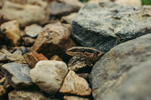 Zandhagedis verstopt tussen de rotsen (lacerta agilis).