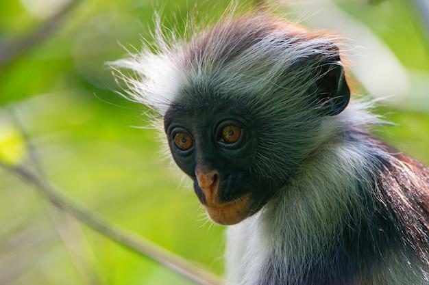 Zanzibar rode colobus in de jungle