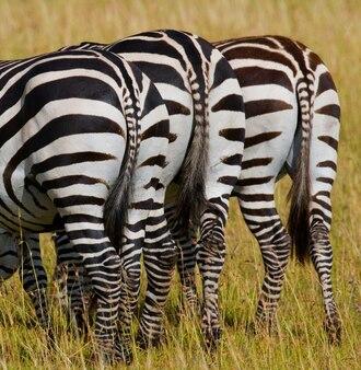 Zebra. achteraanzicht. kenia. tanzania. nationaal park. serengeti. maasai mara.