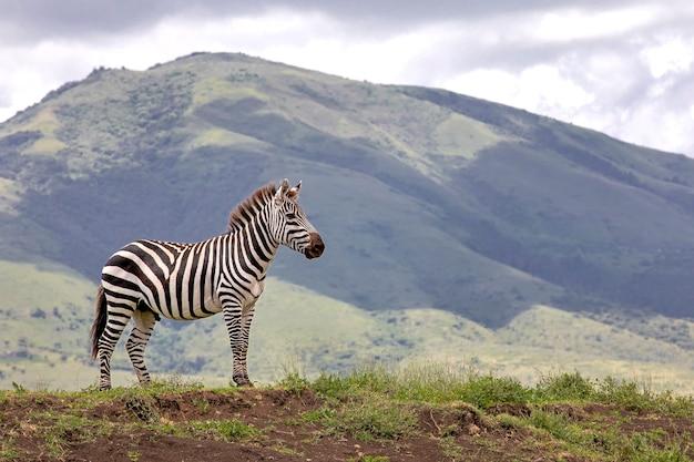 Zebra die bij de ngorongoro-krater loopt
