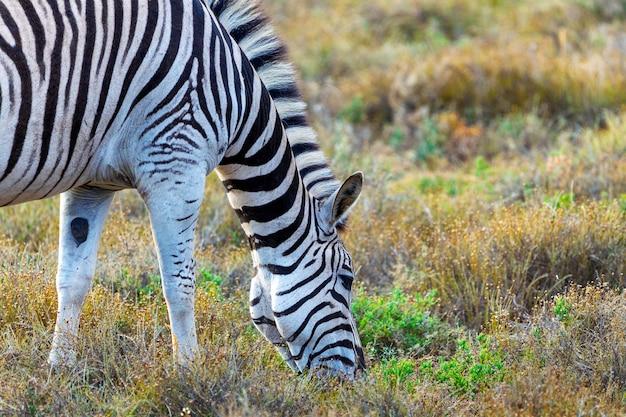 Zebra die gras in het nationale park van addo, zuid-afrika eet