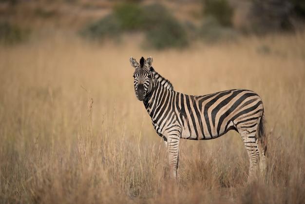 Zebra die zich op een droog grasrijk gebied bevindt