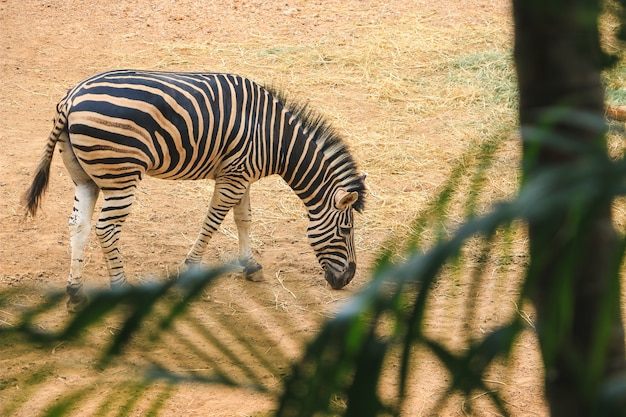 Zebra in de jungle