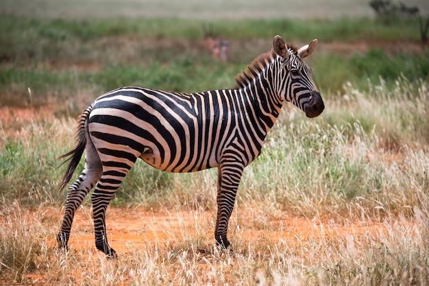 Zebra in het gras van de savanne