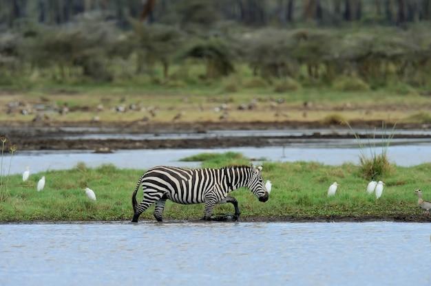 Zebra in het meer van het nationaal park. afrika, kenia