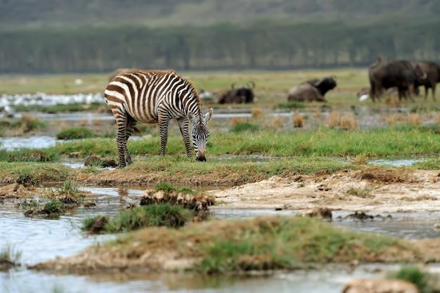 Zebra in nationaal park. afrika, kenia