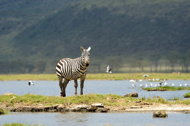 Zebra in nationaal park