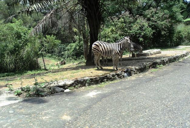 Zebra langs de weg in het safaripark