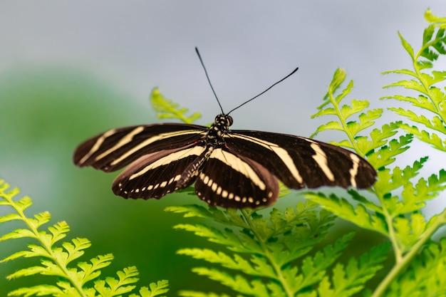 Zebra longwing-vlinder (heliconius charithonia)