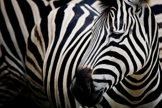 Zebra op donkere achtergrond. zwart en wit beeld