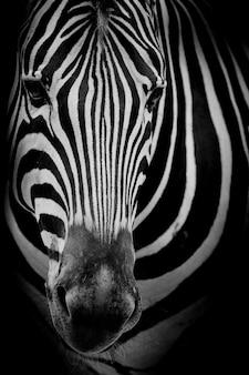 Zebra op donkere achtergrond
