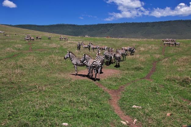 Zebra op safari in kenia en tanzania, afrika