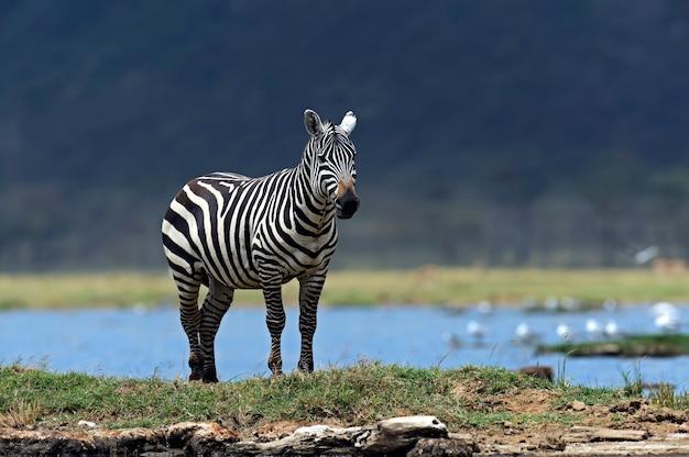 Zebra's in afrika die op de savanne lopen