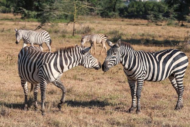 Zebra's in de graslanden