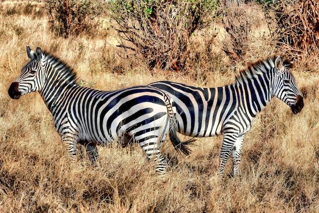 Zebra's in een veld bedekt met het gras onder het zonlicht overdag