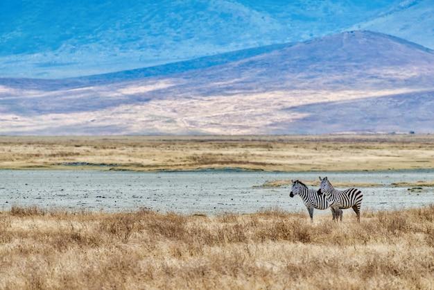 Zebra's in een veld bedekt met het gras onder het zonlicht tijdens de zonsondergang