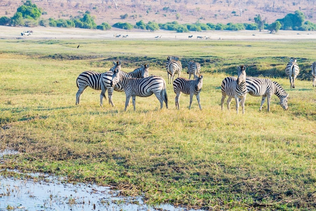 Zebra's in het chobe national park, botswana. wildlife safari in de afrikaanse nationale parken en natuurreservaten.
