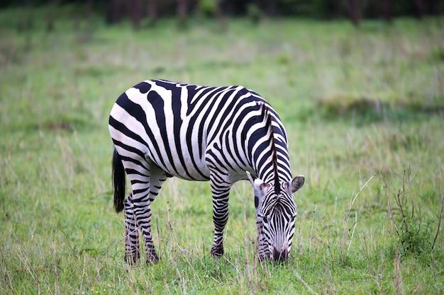Zebra's in het midden van de savanne van kenia