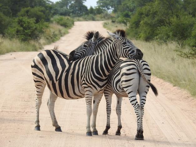 Zebra's knuffelen elkaar midden op de weg, omringd door bomen in het zonlicht