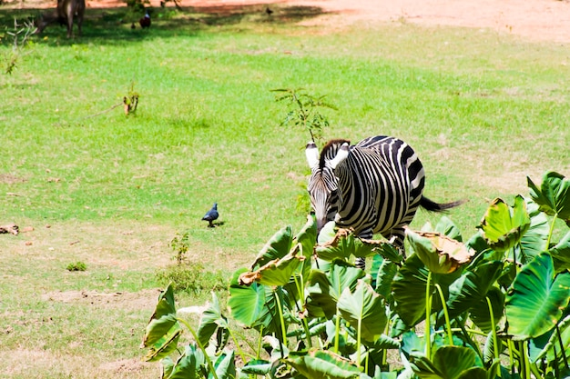 Zebra's lopen op het gras en de waterkant is bezaaid met lotusbladeren.