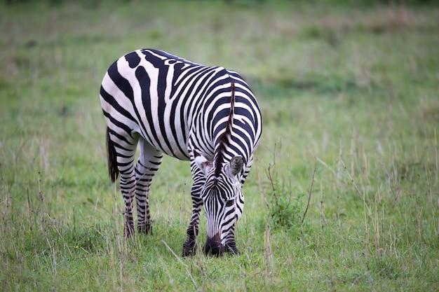 Zebra's midden in de savanne van kenia