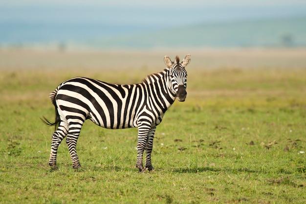 Zebra staande in de savanne