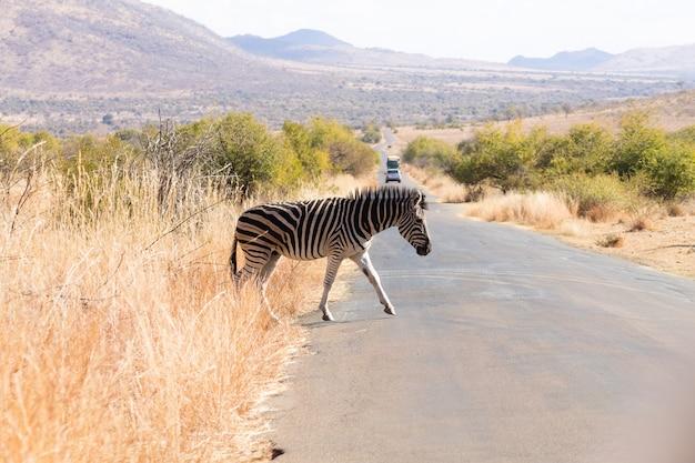 Zebra steekt de weg over van pilanesberg national park, zuid-afrika. safari en dieren in het wild. equus quagga