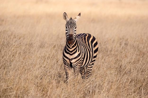 Zebraportret tsavo west nationaal park kenia afrika