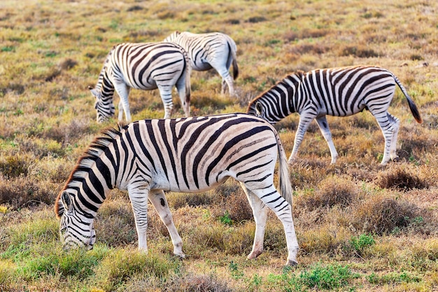 Zebras die gras in nationaal park addo, zuid-afrika eten