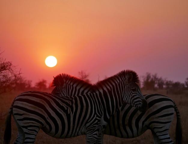 Zebrazonsondergang in kruger national park zuid-afrika wildlife foto