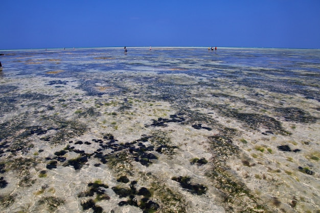 Zee-egel at low tide op zanzibar, indische oceaan