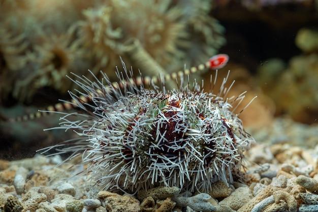 Zee-egels in koraalrif