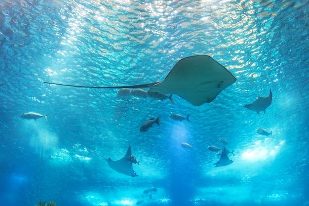 Zee pijlstaartrog en zeeleven. een zeeaquarium met vissen en koralen.