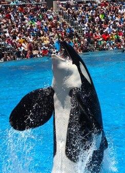 Zee shamu walvissen orka orcinus killer wereld