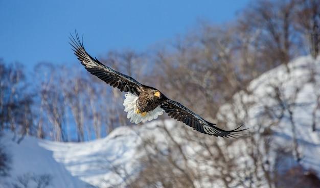 Zeearend tijdens de vlucht op blauwe hemel. japan. hakkaydo. shiretoko-schiereiland. shiretoko nationaal park.