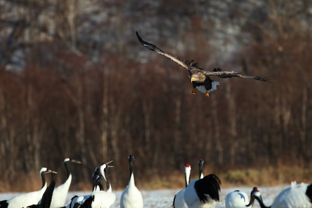 Zeearend vliegt boven de groep zwartnekkraanvogels in hokkaido in japan