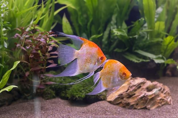 Zeeëngel die in aquariumtank zwemmen.