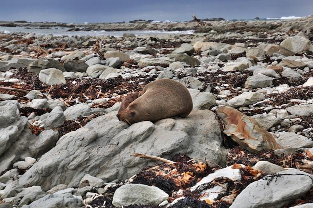 Zeehond in kaikoura in nieuw-zeeland