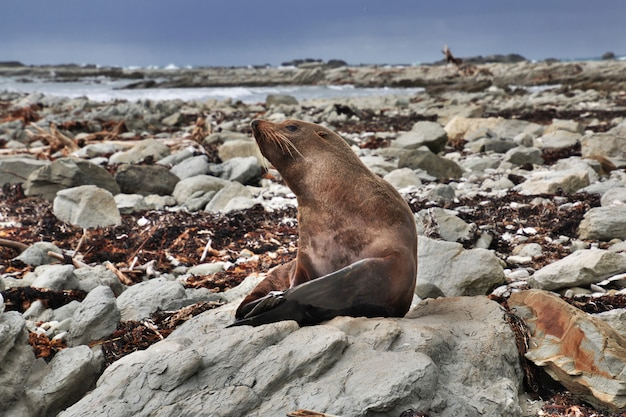 Zeehond in kaikoura, nieuw-zeeland