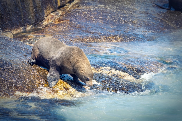 Zeehond op een hout bay zeehondeneiland in kaapstad, zuid-afrika