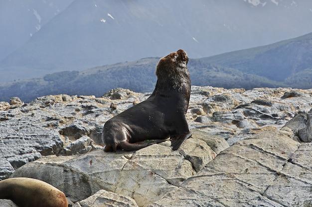 Zeehonden in het beagle-kanaal, ushuaia, tierra del fuego, argentinië