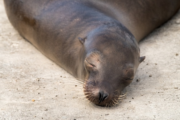 Zeeleeuw op de galapagos-eilanden