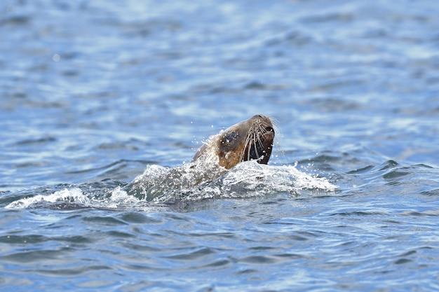 Zeeleeuw (otaria flavescens)